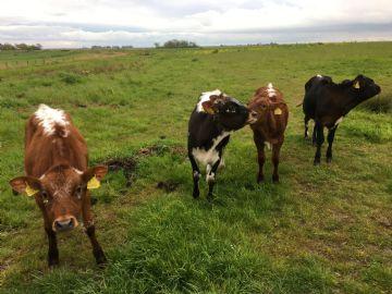 Nieuwe koeien op de Volgermeer